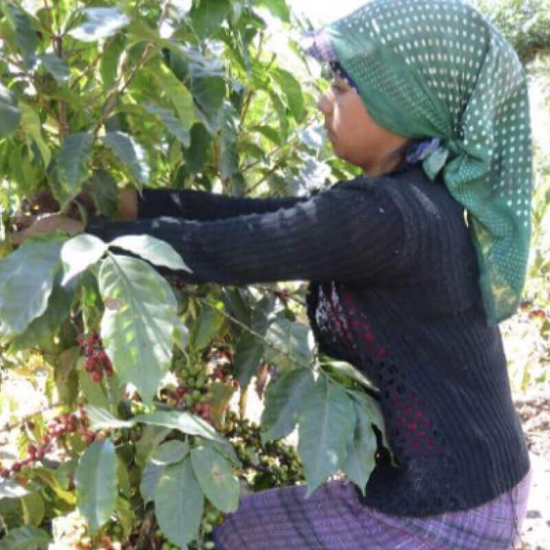 グアテマラ・サンタクララ・レッドハニーの収穫の様子